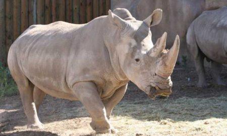 Λίγο πριν την εξαφάνιση οι λευκοί ρινόκεροι: Υπό αυστηρή παρακολούθηση οι τελευταίοι δύο
