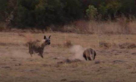 Βίντεο: Mυρμηγκοφάγος τρέχει σαν δρομέας Ολυμπιακών αγώνων για να ξεφύγει από μια ύαινα