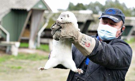 Σοκάρουν οι εικόνες από τη Δανία: Ομαδική σφαγή ζώων βιζόν εξαιτίας της πανδημίας (Φωτογραφίες)