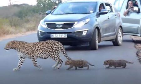 Μαμά λεοπάρδαλη μαθαίνει στα μικρά της να διασχίζουν το δρόμο