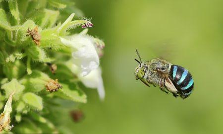 Αυστραλία: Εκπληκτικές μπλε μέλισσες γίνονται viral