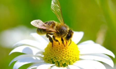 Μέλισσες: Άφαντο παραμένει ένα στα τέσσερα είδη παγκοσμίως