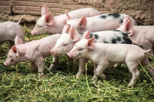Τα γουρούνια μπορούν να παίξουν... video games!